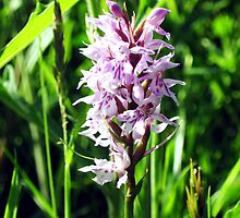 wild Orchid by sebmcnulty