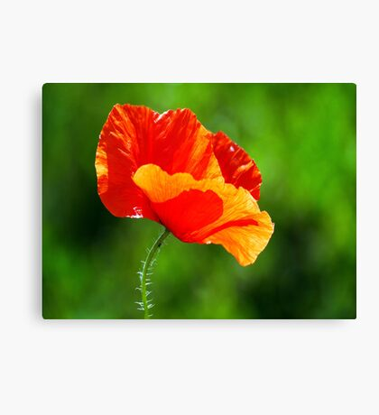 Floral - Poppy  Canvas Print