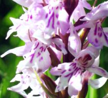 wild Orchid Sticker