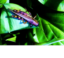 Purple Grasshopper Sticker