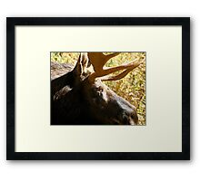 Maine Bull Moose  Framed Print