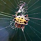 Spined Micrathena by Otto Danby II