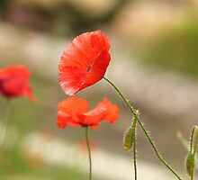 flanders poppies by Mandy Gwan