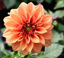 Soft Peach Dahlia by AngelaBishop