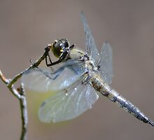 Dragonfly by dacolors