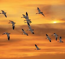 SNOW GEESE OF AUTUMN by TOM YORK