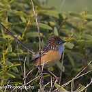 Southern Emu Wren by Rick Playle