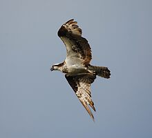 Osprey Calling To Others While In Flight by Thomas Mckibben