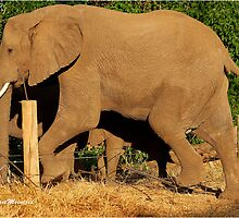 CROSSED - THE AFRICAN ELEPHANT - Loxodonta africana  by Magriet Meintjes