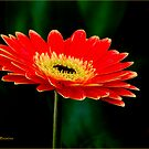 STRIKING AND VIBRANT IN SIMPLICITY - THE GERBERA by Magriet Meintjes