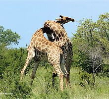 THE SPELL - GIRAFFE - Giraffa camelopardalis - ENCOUNTERS IN MATING SEASON by Magaret Meintjes