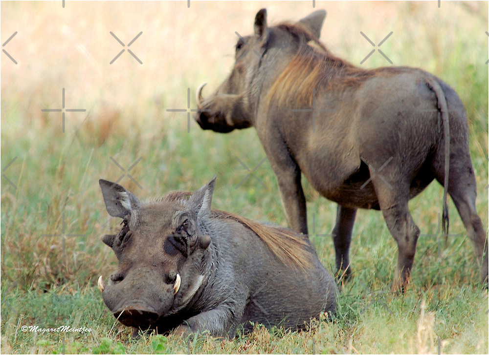 BEAUTY IN THE WARTHOG -  Phacochoerus aethiopicus - vlakvark by Magriet Meintjes
