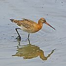 Black-tailed Godwit by MikeSquires