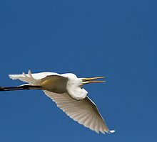 The Egret Croak by byronbackyard