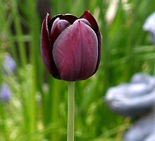 Just a Tulip I liked by jayluk