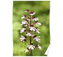 Lady Orchid Poster