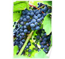 Winery Vineyard Poster