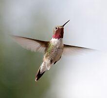 Flying colibri by vincentk