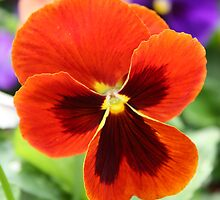 Orange Pansy by AngelaBishop