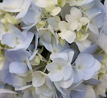 Delicate Hydrangeas by AngelaBishop