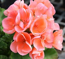 Peach Geraniums by AngelaBishop