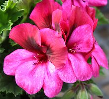 Lilac Geraniums by AngelaBishop