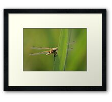 Four spotted chaser dragonfly soaking up some sun Framed Print