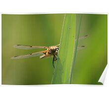 Four spotted chaser dragonfly soaking up some sun Poster