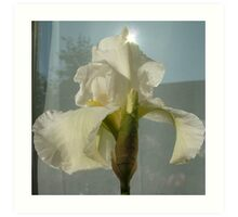 White Bearded Iris  Art Print