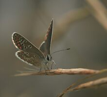 The brown argus butterfly prepares to take off by miradorpictures