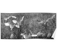 Egrets  7 Poster