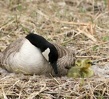 Female Canada Goose Watching Goslings by rhamm