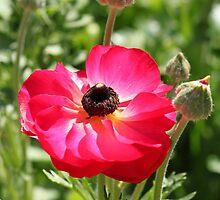 Ranunculus by RickLionheart