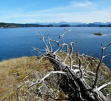 SKELETON TREE ( Quadra Island ) by Doria Fochi