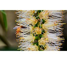 Busy Bee in Flower Photographic Print