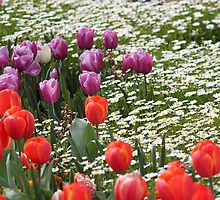 Field of Tulips and Daisies - Canberra Floriade by RickLionheart