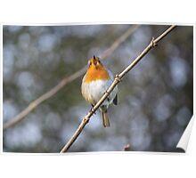Robin Winter Singing  Poster