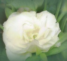 Lisianthus (Prairie Rose) a most beautiful flower by EdsMum