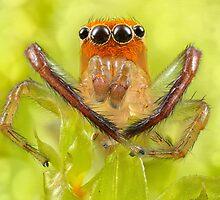 'Orange-faced Jumping Spider (Prostheclina pallida Keyserling)' by Kerrod Sulter