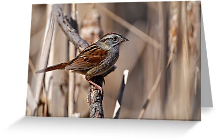 Swamp Sparrow by Michael Cummings