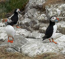 Puffins Enjoying Their Catch - Farne Islands / England by Jacqueline Turton