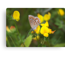 Common Blue on Lotus - Polyommatus icarus Canvas Print