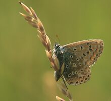 barley high for this common blue butterfly  by miradorpictures
