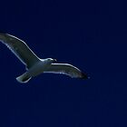Seagull in Flight by Daniel Carroll