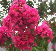 Crape Myrtle by Christopher Johnson