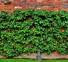 Espalier Apple Tree by Paula J James
