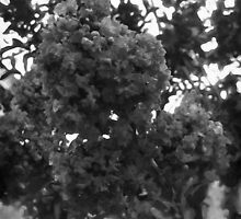 Crape Myrtle B&W by Christopher Johnson