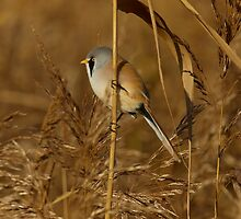 Bearded Tit Male by Trevsnature