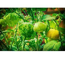 Tomatillos  Photographic Print