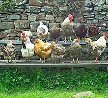 Hens on a bench by Nick Jenkins